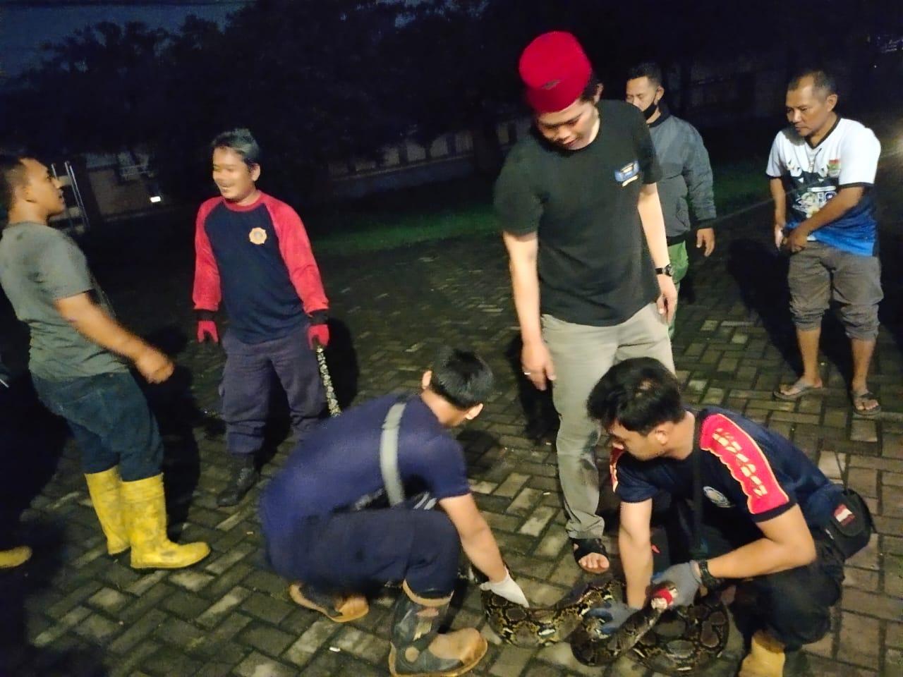 Warga Desa Kadu saat mengamankan ular sanca.