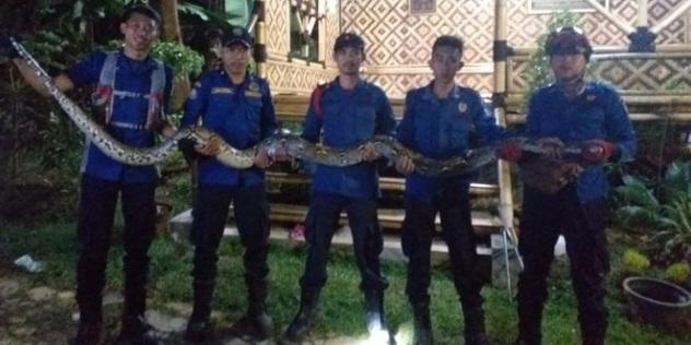 Seekor ular jenis Sanca sepanjang 5 Meter dievakuasi Unit Rescue Dinas Pemadam Kebakaran (Damkar) setempat.
