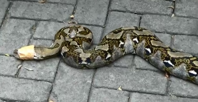 Seekor ular jenis sanca.