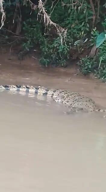 Seekor buaya muara di bantaran sungai Cisadane, Kabupaten Tangerang, Kamis 24 Juni 2021.